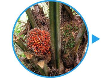 アブラヤシなどの植物由来資源を原料とした、RPDパームオイルを抽出します。